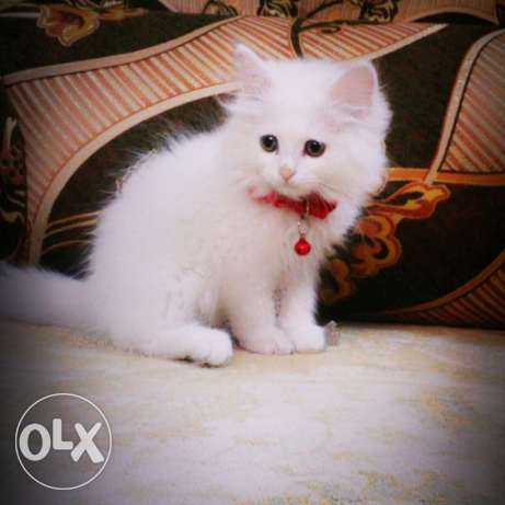 Persian cat for sale in olx