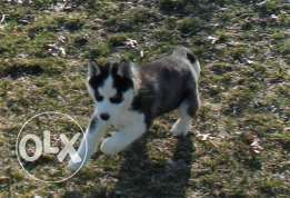 Blue eyes Siberian husky puppies ready to go