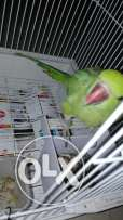 Green parrot for sell