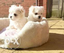 Maltese Puppies available
