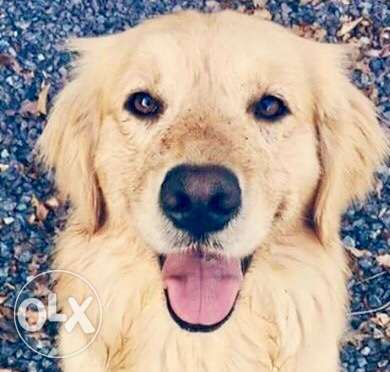golden retriever well trained has passport 5/6 months