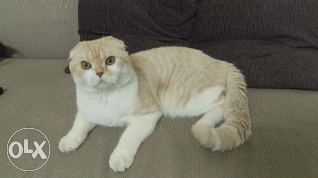 Scottish fold cat pure for sale
