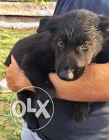 Black German Shepherd Puppies for sale