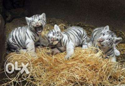 White Tiger cubs available