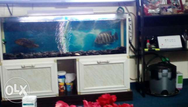 Large Aquarium with 2 Big Cichlid Fishes