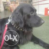 Black Golden retriever 19 months old FOR SALE