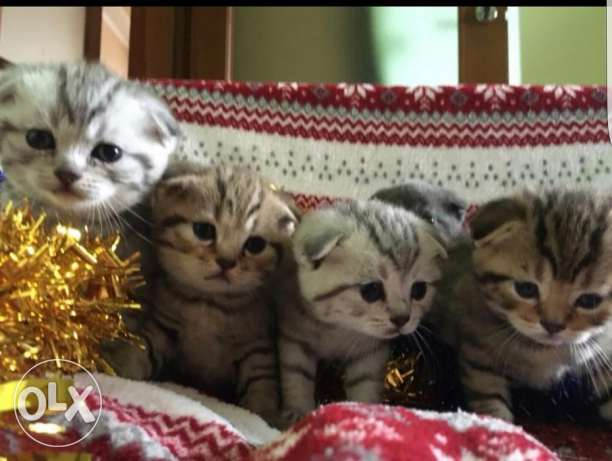 Scottish fold and straight kittens for sale الدمام -  4