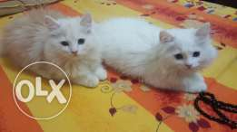 2 kitten for rehoming