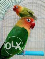 Beautiful lovebird breeding pair