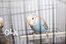 parrot with cage