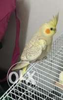 Very Playful and Healthy Cockatiel for Sale Rare Color