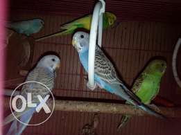 Very cute budgies for sale 120 SR