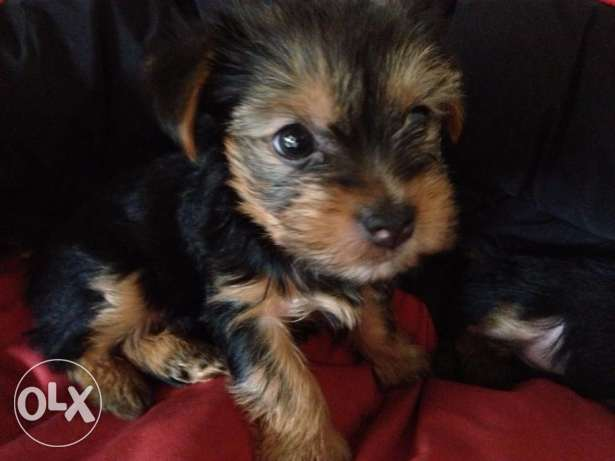 Yorkshire terrier puppies for new homes