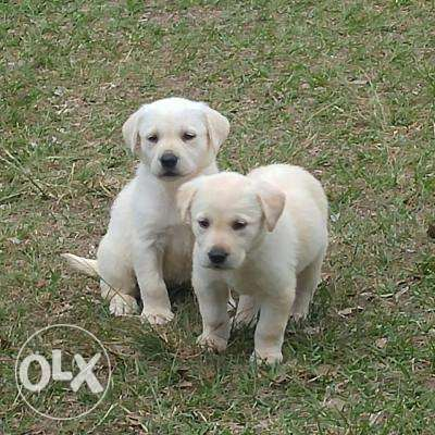 Nice and Healthy labrador retriever Puppies available