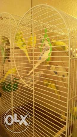 Hollandi love brids Parrot male or female for sale