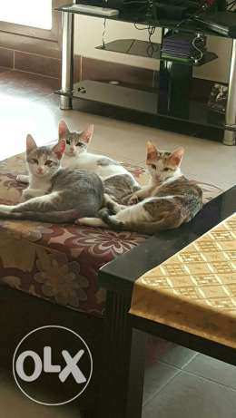 ADOPTED! THANK YOU! 3 adorable kittens given for adoption الرياض -  1