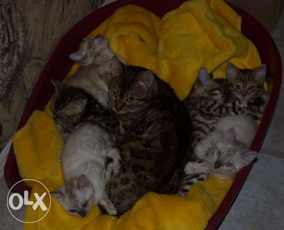 CFA Chikala Male and Female Tag Brown Bengals Kittens Ready الخرج -  3