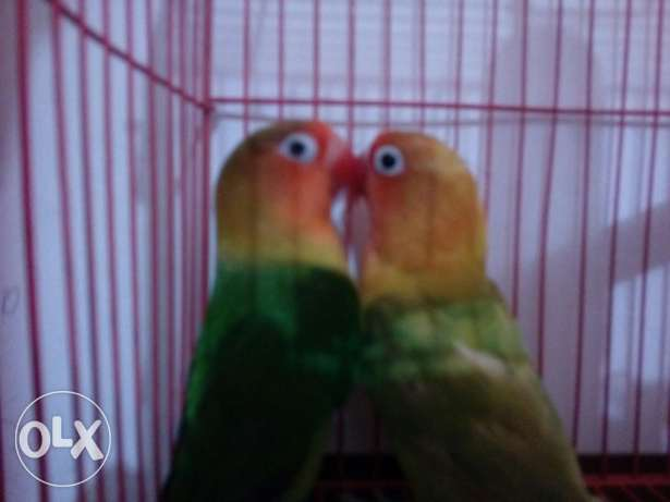 Beautiful love birds for sale