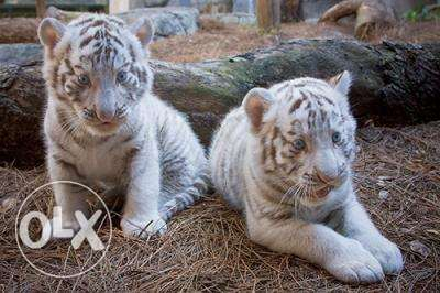 Healthy Lion and Tiger cubs available