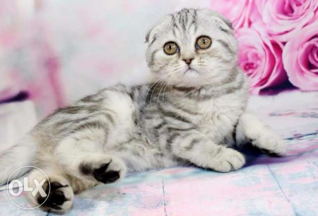 Scottish fold and straight kittens for sale
