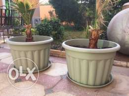 pot plastic with washintonia plant