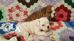 Bulldog puppies for free adoption