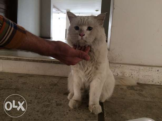 Has anyone lost a cat. I found this cat جدة -  4