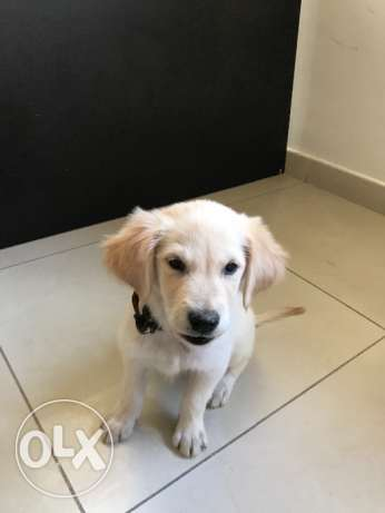 Golden retriever 3 month old puppy for sale