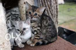 CFA Chikala Male and Female Tag Brown Bengals Kittens Ready