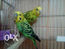 Budgies breeding pair with full setup
