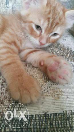 American shorthair cat olx