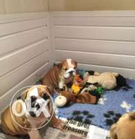 Cute and lovely english bulldogs for rehoming