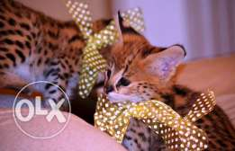leopard cats for sale in pampa