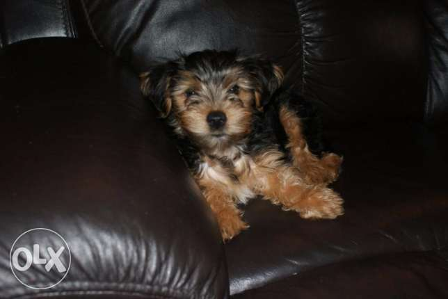 Yorkshire terrier puppies for new homes شرورة -  3