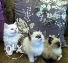 Beautiful Pure Ragdoll Kittens Seal Tortie Cream