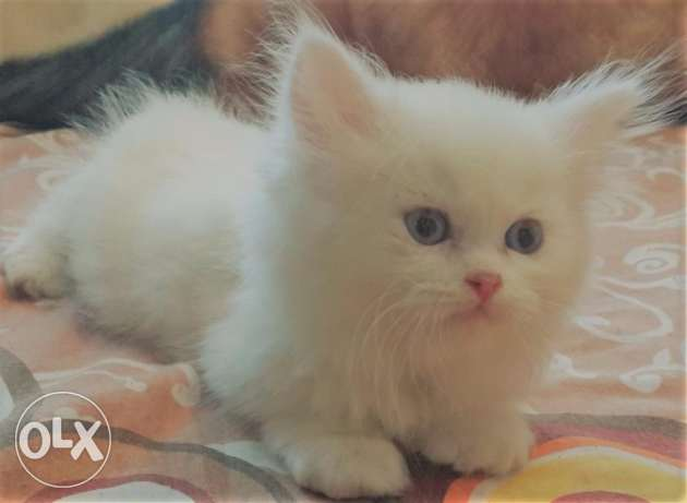 Blue Eyes - Cute Sherazi Cat Female - Very Beautiful - Play with Kids