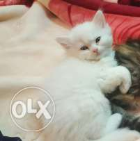 8 weeks old adorable Persian kittens for sale (850 SAR)