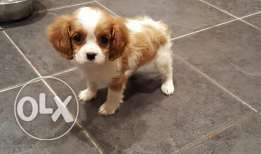 Cavalier King Charles puppy available