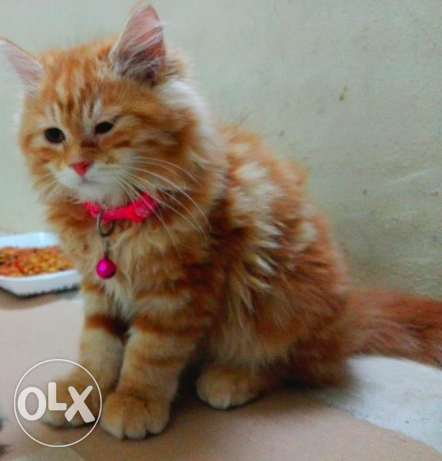 shirazi 12 weak old vaccinated cute female kitten