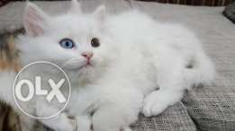 3 month adorable kittens for sale