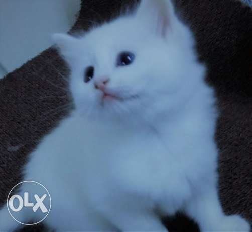 PURE Sherazi Kitten For Sale - Blue Eyes - Fluffy Hairs - Very Cute
