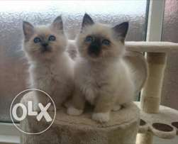 Adorable Seal pointBirman Kittens Ready Now