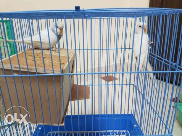 Australian and hollandi parrots. Adult healthy pairs.