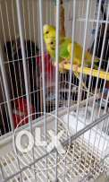 Pair of australian budgies for sale cage included