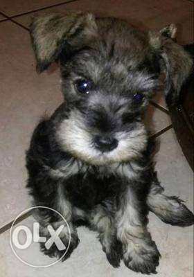 Pedigree Miniature Schnauzer Puppies available