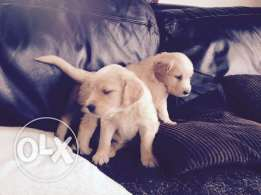 Goldren Retriever Puppy Ready Now.