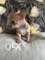 Amazing male and female Chihuahua puppies