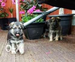 German Shpeherd Puppies for sale
