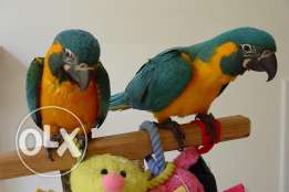 Blue Throated Macaw baby's SUPER TAME with papers