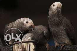 Baby Timneh African Grey Parrots